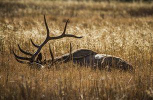 Elk At Rest by Stewart Baird