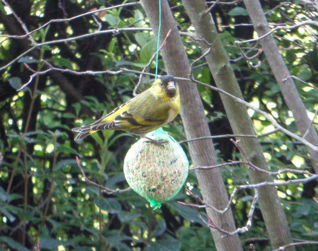 Lucherino - https://lefotodiluisella.blogspot.it/2018/02/birdwatching.html