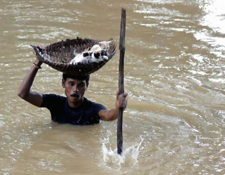 During massive floods in Cuttack City, India, in 2011, a heroic villager saved numerous stray cats by carrying them with a basket balanced on his head