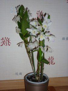 Orchidée : Dendrobium nobile : comment s'en occuper