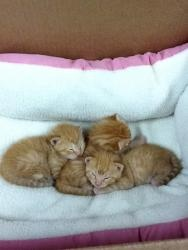 Pop Tart, Creme Puff and Creme Brulee is an adoptable Domestic Medium Hair-Orange Cat in New York, NY. Pop Tart, Creme Brulee, and Creme Puff are three bouncy, playful adorable kittens who are availab...
