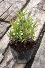 【1ポット~】 細長い葉の笹 「アズマネザサ」 ポット直径10.5cm