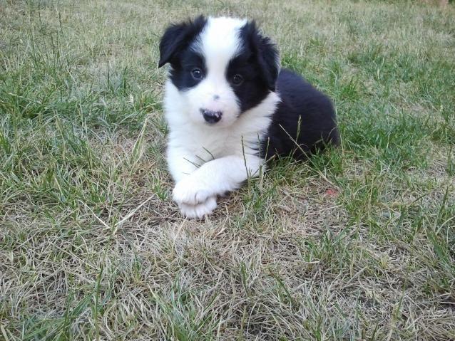 Cachorros de Border Collie - ESPAÑA - QUICK Anuncio