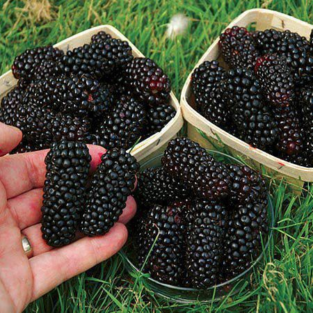 Toot ~ giant mulberries from Afghanistan