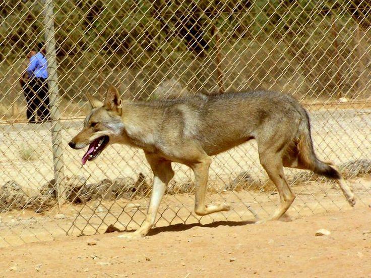 Canis lupus arabs - Arabian Wolf