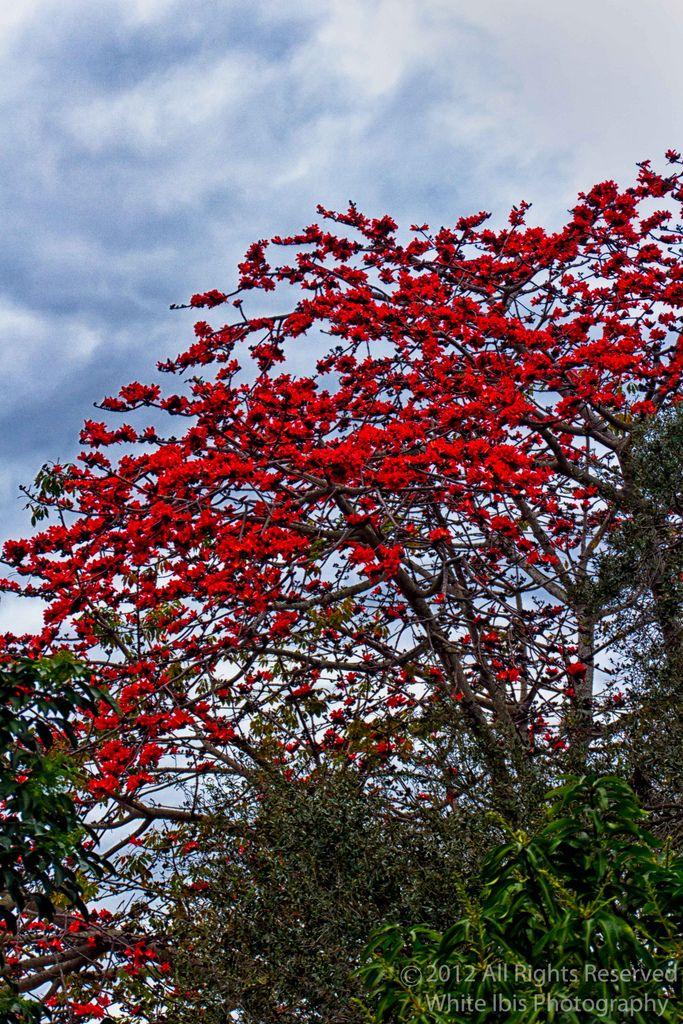 12 best bombax tree images on pinterest blossom trees flowering red cotton silk flower bombax ceiba mightylinksfo