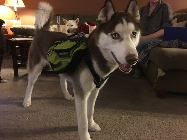 Red Siberian Husky I love my man OG, got him this sweet bag for our 4 month adventure in Alaska this summer 2017.
