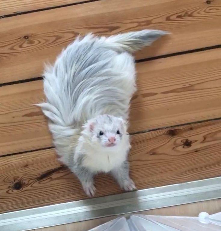 Long haired ferret
