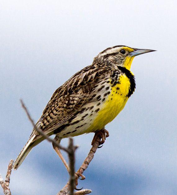 Mountain Meadowlark state bird of Montana by MyMontanaPhotos, $35.00