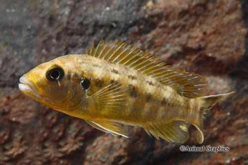 foto de makonde Pseudotropheus williamsi cíclidos Pseudotropheus Reg williamsi