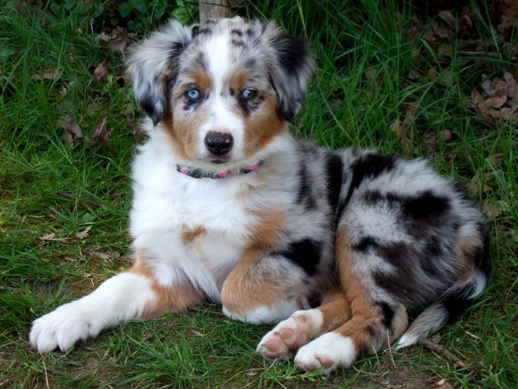 Australian Shepherd Puppy with really blue eyes so adorable. Description from pinterest.com. I searched for this on bing.com/images