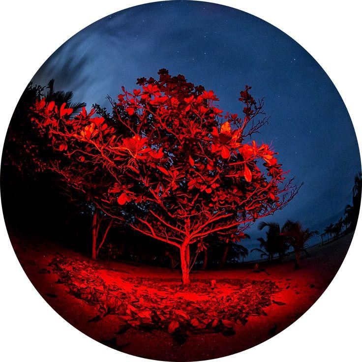 Arbol Iluminado rojo con cielo azul en Palomino, Colombia #arbol #fotografia #naturaleza #palomino #colombia #robertolombana.com