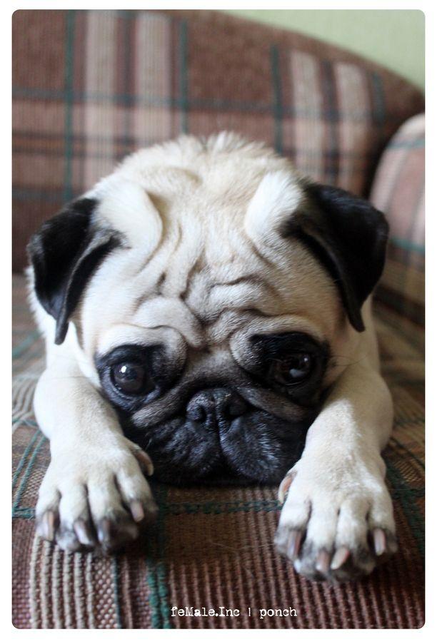 978 Best LOVE PUGS II Images On Pinterest Doggies Baby