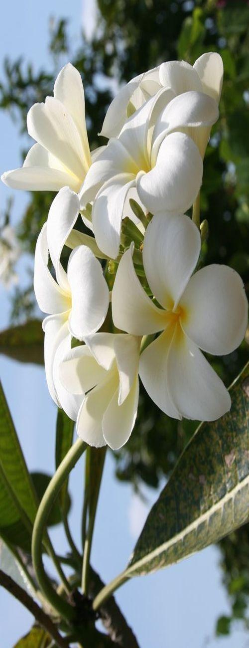 "beautiful flowers""white summer flower"" !!!"