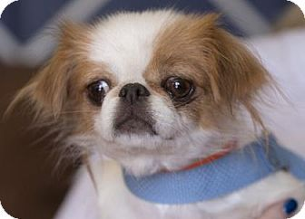 Pictures of Abby a Japanese Chin for adoption in Colorado Springs, CO who needs a loving home.