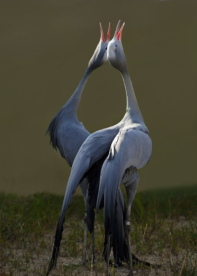 "Blue Cranes from South Africa. ""Cranes often mate for life, and dancing strengthens their bond. A most lovely and enchanting choreography!""   a lover's dance by Leda Robertson"