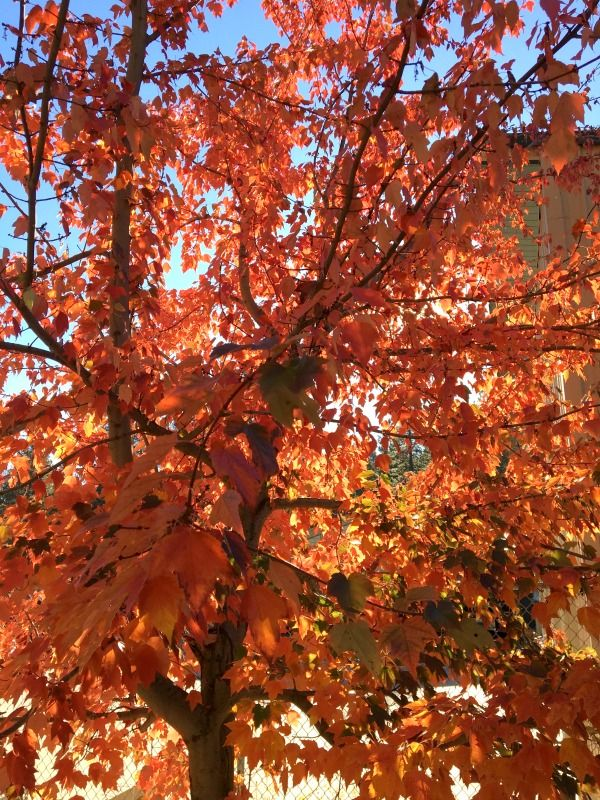 Autumn color in Arnold, California, The Heart of the Sierra. Fall colors everywhere.