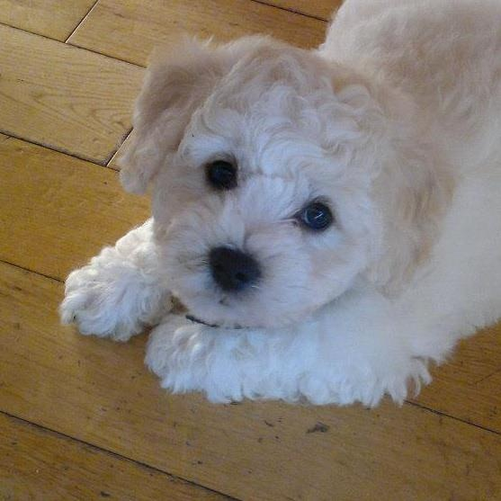 my bichon puppy   Dogs   Pinterest   Too cute, Babies and ...