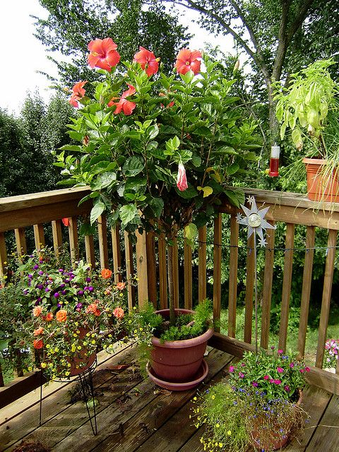 Hibiscus Tree | hibiscus tree and planters | Flickr - Photo Sharing!