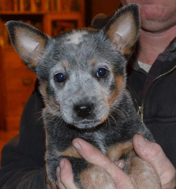 Puppy Pics Indianola Ia Blue Heeler Meet Faye A Pet For Adoption Blue Heeler And Catahoula Puppies The So Heeler Puppies Blue Heeler Puppies Puppies For Sale
