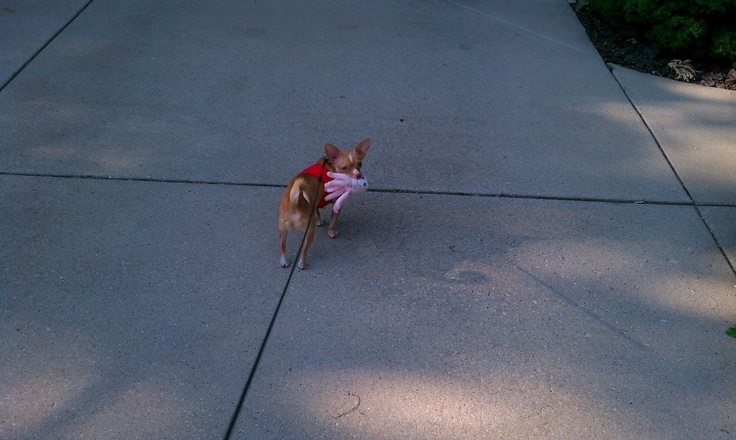 Mr. Big, my chihuahua...with his 'pet' octopus.