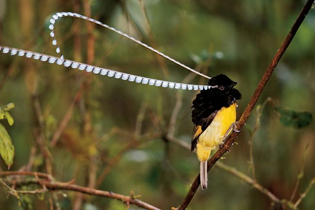 King of Saxony Bird-of-Paradise  -  It's horns are so random, that Europeans thought they were fake when first imported.
