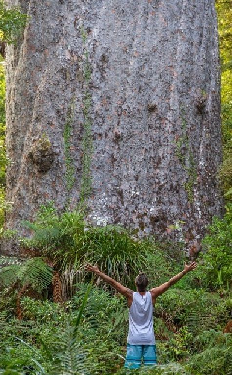 Tane Mahuta, a Kauri tree, in North Island, New Zealand. Age unknown, may be between 1200 and 2500 years old.