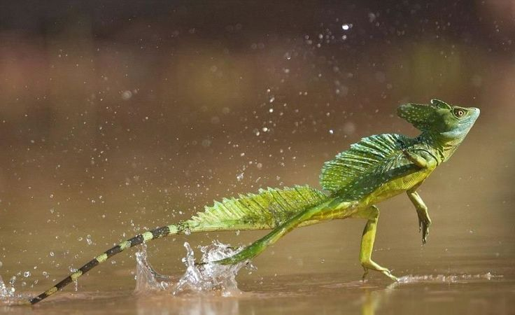 The jesus christ lizard, an amazing creature with the ability to run on water!   #jesus #christ #lizard