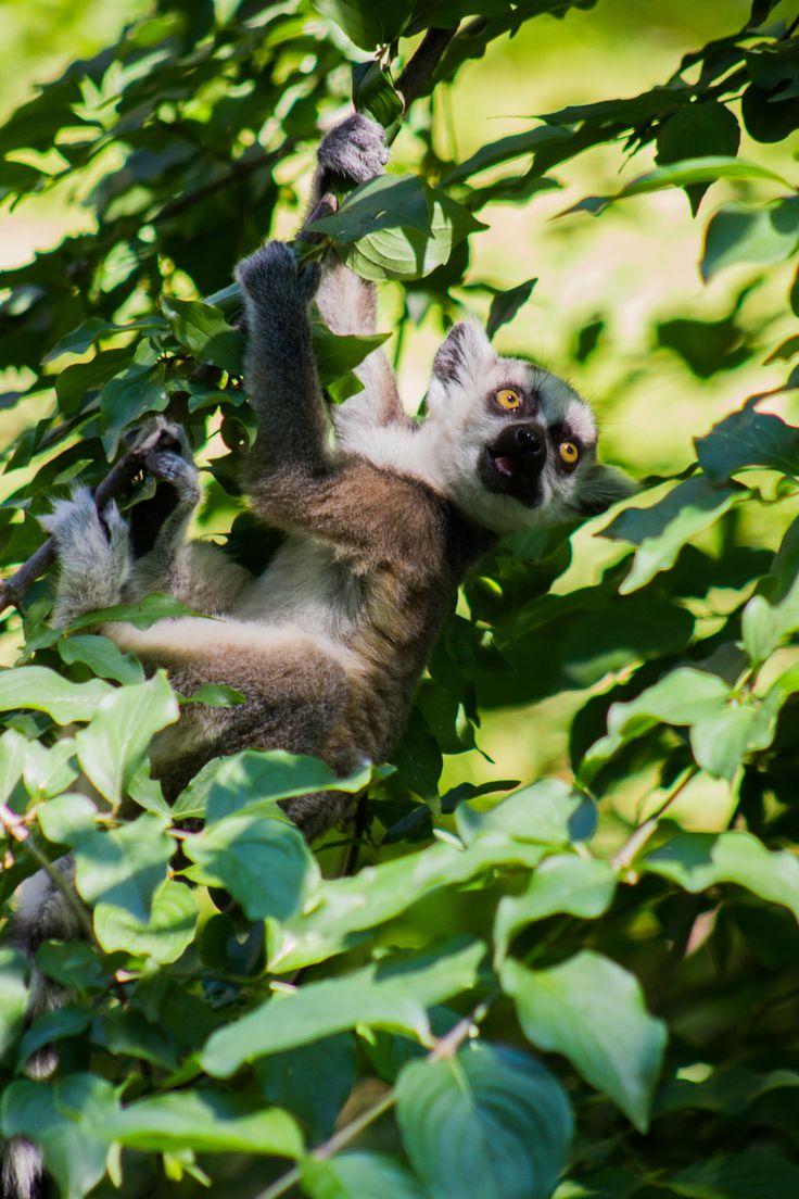 Közönséges maki kölyök. Ring-tailed lemur baby.