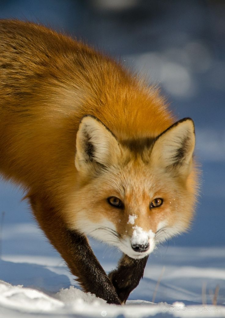 того, фото лисички животного данный момент, несмотря