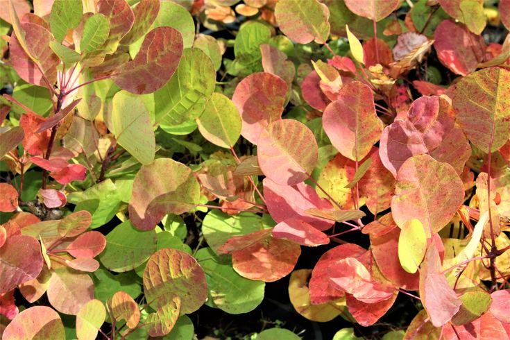 Cotinus coggygria 'Smokey Joe' trägt im Juli bis August dunkelrosa Blüten und besitzt eine schöne Herbstfärbung.. CHF 19.90. Kategorie: Laubabwerfende Hecke.