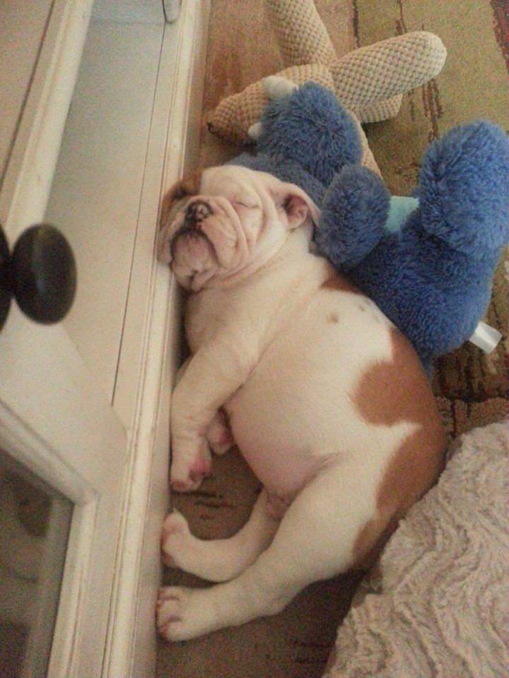 ❤ When you have to snooze - you have to snooze - comfort doesn't matter ❤ Posted on English Bulldog