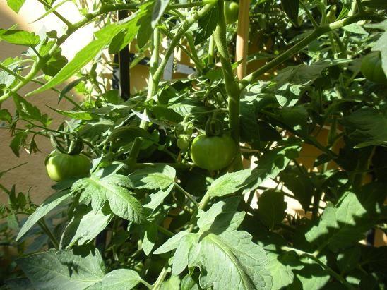 faire pousser des tomates grappe sur son balcon ou. Black Bedroom Furniture Sets. Home Design Ideas