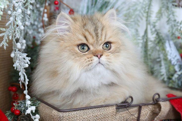 Golden Glow - Haga clic aquí - Gatitos persas Raras Ultra Venta - (660) 292-2222 - Situado en el norte de Missouri (gastos de envío disponible) Ultra gatitos persas raras para la venta - (660) 292-2222 - Situado en el norte de Missouri (envío disponible)