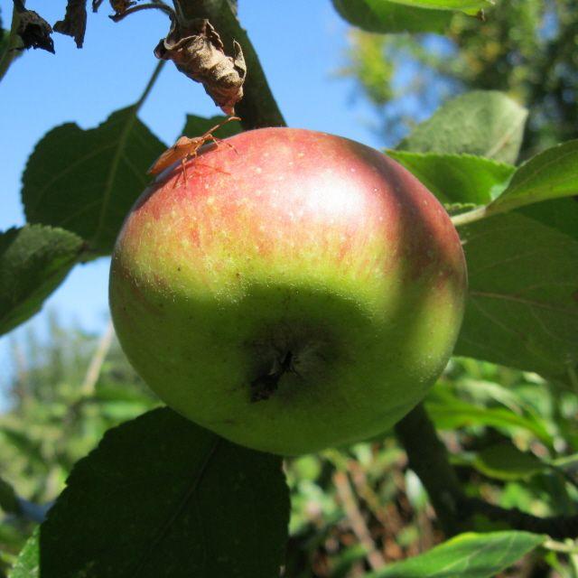 Mele nei piccoli frutteti (Foto di M.Canziani) familiari lungo La Via dei Cairoli (www.laviadeicairoli.it).