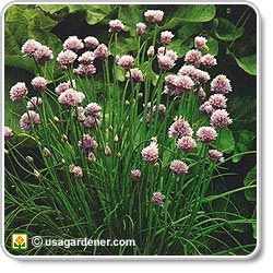 """""""• Chives grown near the roots of apple trees helps prevent apple scab.   • It also helps prevent black spot in roses.   • Carrots grow larger than normal when planted with chives."""""""