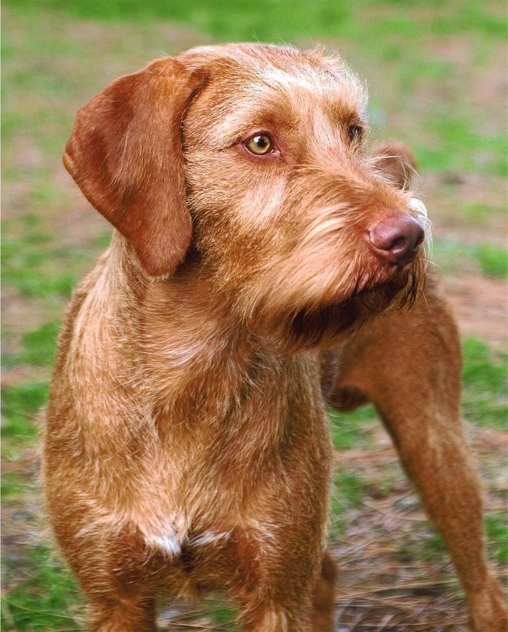 Best Dog Coat For Vizsla Uk