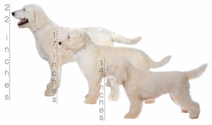 How Big Do Teddy Bear Dogs Get