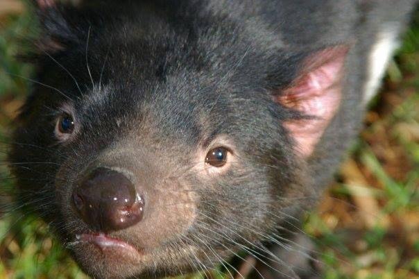 Tasmanian Devil, very interested in the camera.