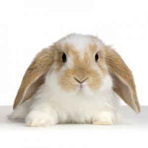 Cómo es el conejo Belier