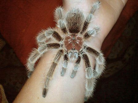 Rose-haired Tarantula, Grammostola rosea, Chilean Rose Tarantula