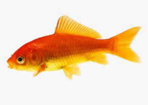 Pesci rossi come allevarli con successo
