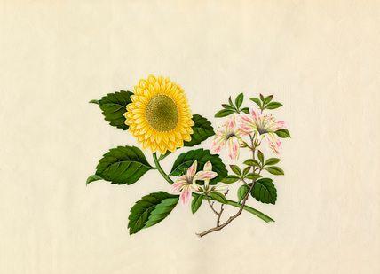 Weigela floribunda, Chrysanthemum indicum -- Chrysanthemum -- View By Flower -- RHS Prints