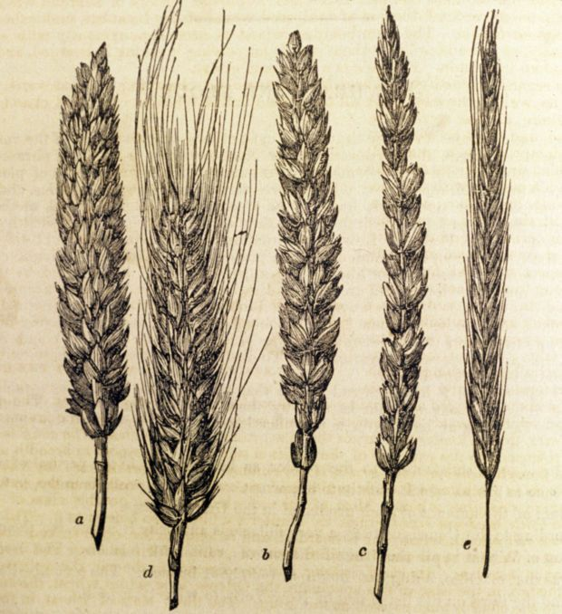 wheat & rye