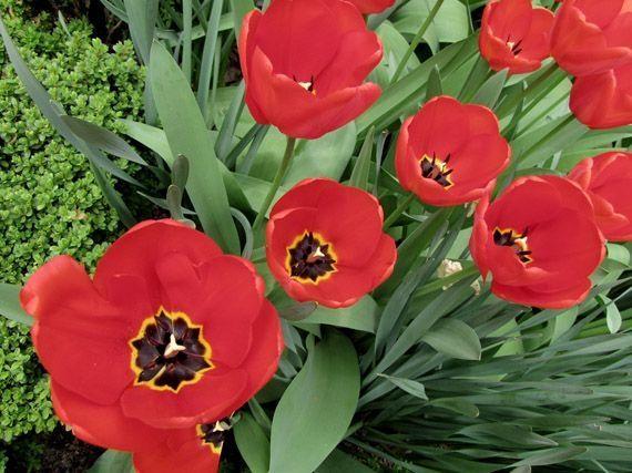 Desde principios del otoño hasta noviembre es cuando debes enterrar los bulbos de tulipanes, jacintos y narcisos que darán flor en primavera. Su floración prolongada y duradera y su fácil cuidado han hecho de estas plantas unas de las favoritas en jardines y terrazas en España.