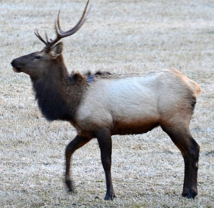 Bul Elk at dusk