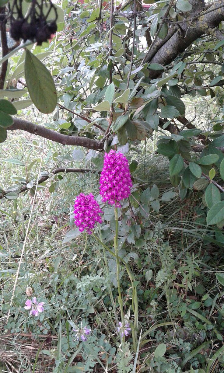 Boluda bir çeşit orkide