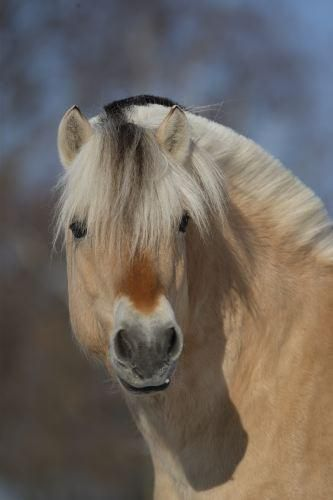 Norwegian Fjord horse. - Looks so kind!
