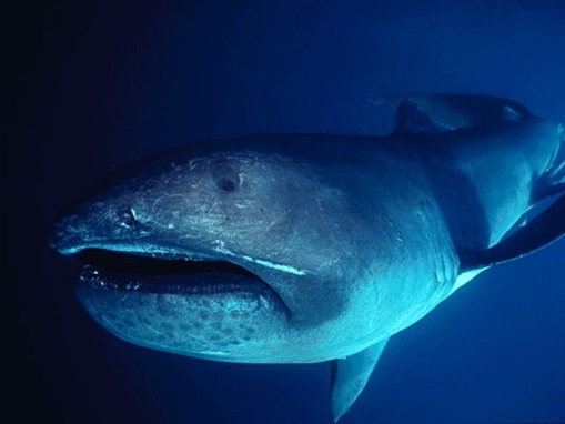 megamouth_shark      Megamouth Sharks are filter-feeders like Whale Sharks (below) and Basking Sharks. Growing up to 18 feet long and weighing as much as 2.5 tons, Megamouth Sharks are a deepwater species that boasts a ring of light-emitting photophores around its mouth.   From wonders world