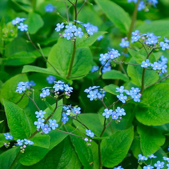 Brunnera macrophylla.  Lovely heart-shaped bright green leaves and long-lived starry blue flowers in early summer.  Can cope with dry shade and still spread gently over a reasonable area.